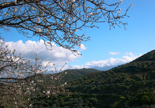 Crete walks: Almond blossoms with White mountains