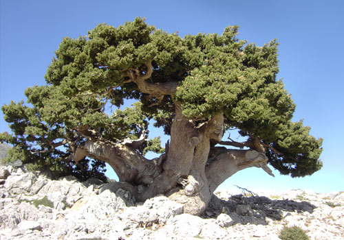 Crete walks: Very old Cypress tree in the White mountains
