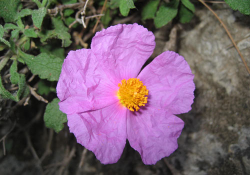 Crete walks: Cystus flower