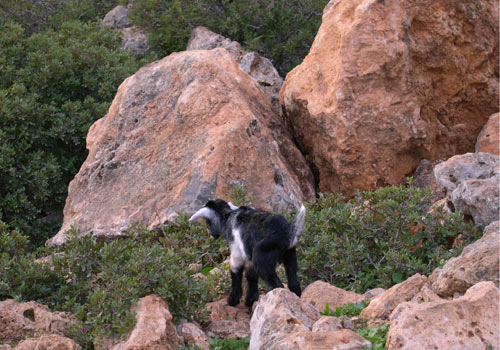 Crete walks: Very young cretan goat